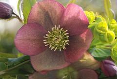 flower, hellebore, flora, petal,