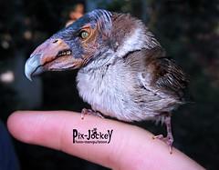 L'uccellaccio del malugurio (fake!)