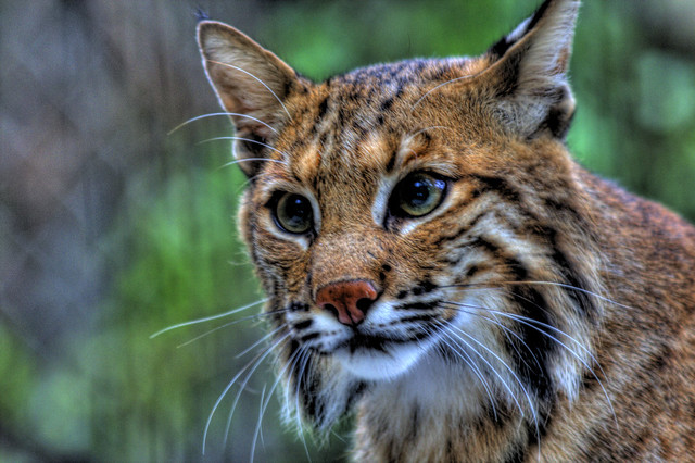 Show Me A Picture Of A Bobcat >> bobcat   Flickr - Photo Sharing!