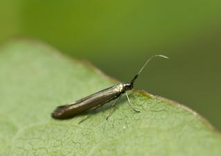 Casebearer Moth