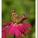 Painted Lady Butterfly - Photo (c) Bart Busschots, some rights reserved (CC BY-NC-ND)