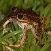 Forrer's Grass Frog - Photo (c) Bart, all rights reserved