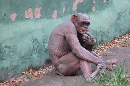 Hairless Baby Chimpanzee Hairless Chimpanzee