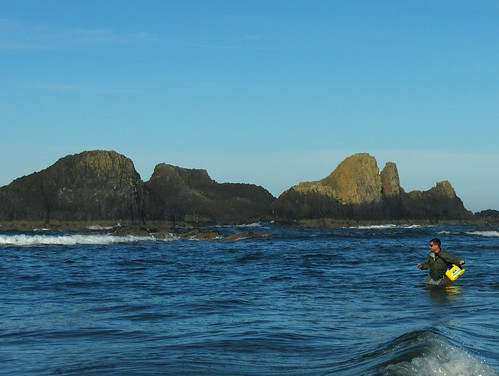 Surf perch search oregon coast quest continues the for Surf perch fishing oregon