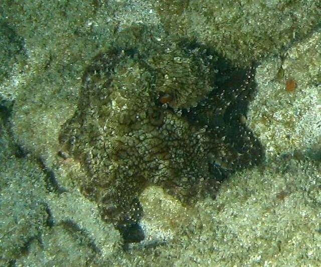 hidden octopus