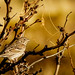 Brewer's Sparrow - Photo (c) Frank Carey, some rights reserved (CC BY-NC-SA)