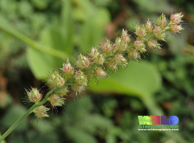 Prickly Grass Seeds Flickr Photo Sharing
