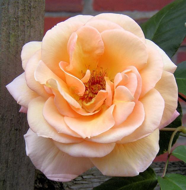 roses 25 a gallery on flickr. Black Bedroom Furniture Sets. Home Design Ideas