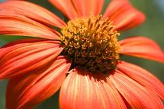 flower, macro photography, flora, close-up, purple coneflower, petal,