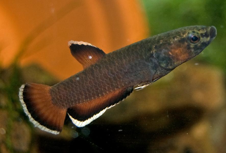 Www fish view topic any wild type betta for Wild betta fish