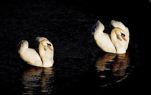 Duet for two swans