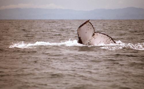 188_Humpback fluke, Madagascar, Oseana, the famous ahwc#1363