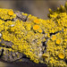 Candleflame Lichen - Photo (c) Amadej Trnkoczy, some rights reserved (CC BY-NC-SA)
