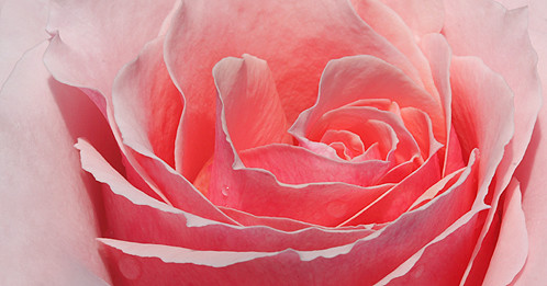 EXPLORED! Rose Macro / close up Rose / rose closeup / closeup rose / Rose /  closeup / Close up / rose / IMG_7235