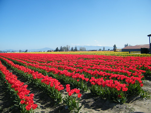 Tulipfields Skagit valley