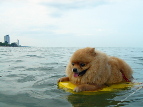 Poor Little Pom Pom / Pompom Dog Practice Swimming On Swimming Foam At Chaam Beach Thailand / ปอมปอมหัดว่ายน้ำ