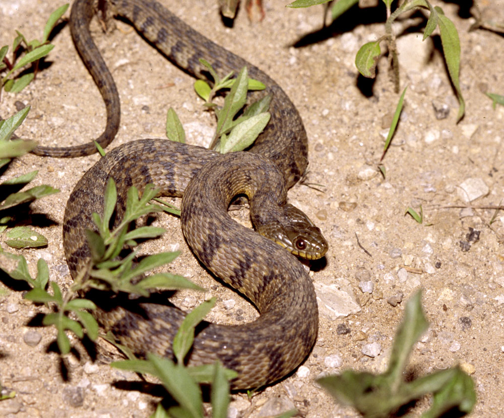 Diamondback Water Snake Vs Cottonmouth