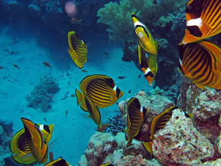 Red Sea Racoon Butterflyfishes