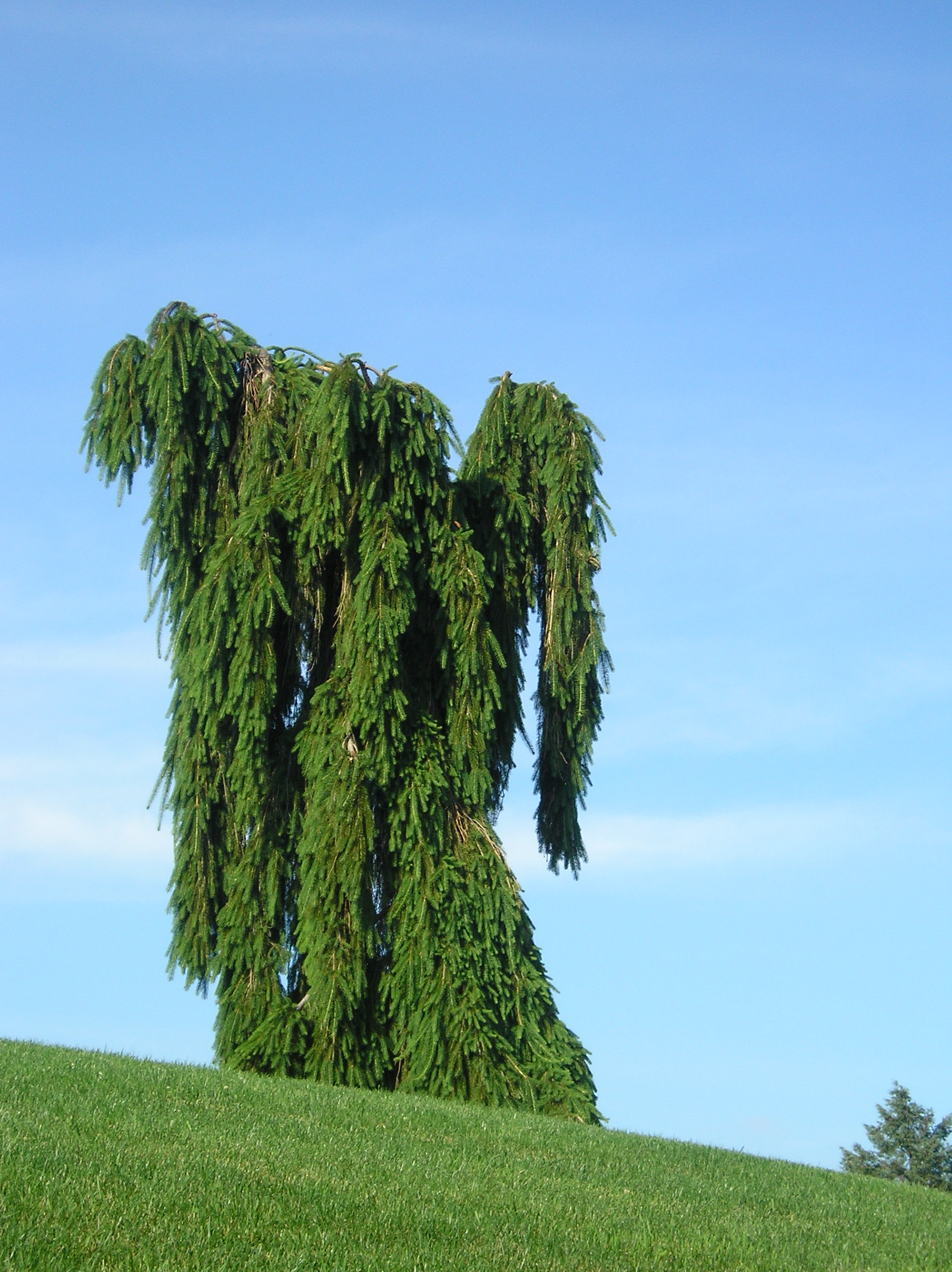 Weeping Norway Spruce (Picea abies) | Flickr - Photo Sharing!