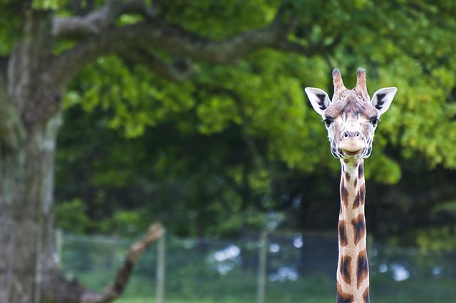 Your Having a Giraffe