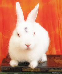nose, animal, rabbit, domestic rabbit, pet, angora rabbit, whiskers, rabits and hares,