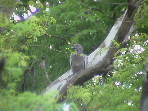 Patagioenas maculosa (Picazuro Pigeon)