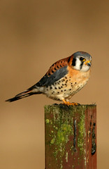 American Kestrel - Photo (c) Blake Matheson, some rights reserved (CC BY-NC)