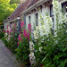 Hollyhocks in Garnwerd (Groningen - Netherlands) by Noorderland
