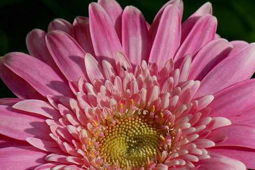 GERBERA DAISY & FRIEND
