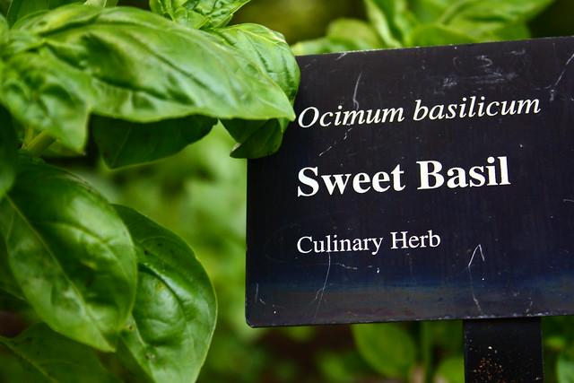 Sweet Basil