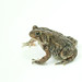 Small photo of American toad