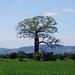 Cosiguina ceiba tree