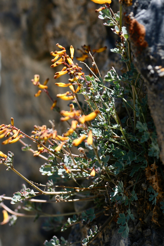 Corydalis paniculigera (Fumariaceae)
