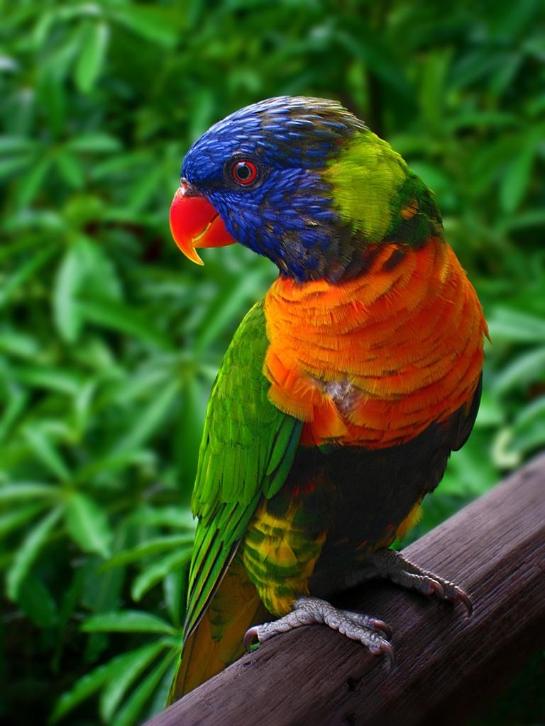 Rainbow Lorikeet (IMG_6054R)