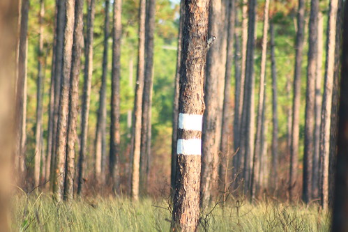 bird fauna flora easternnorthcarolina undisclosedlocation redcockadedwoodpecker picoidesborealis pinesavanna