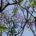 Small photo of Jacaranda mimosifolia/brasiliana