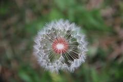 Dandelions 5