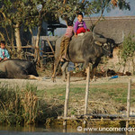 Water Buffalo - Inle Lake, Burma