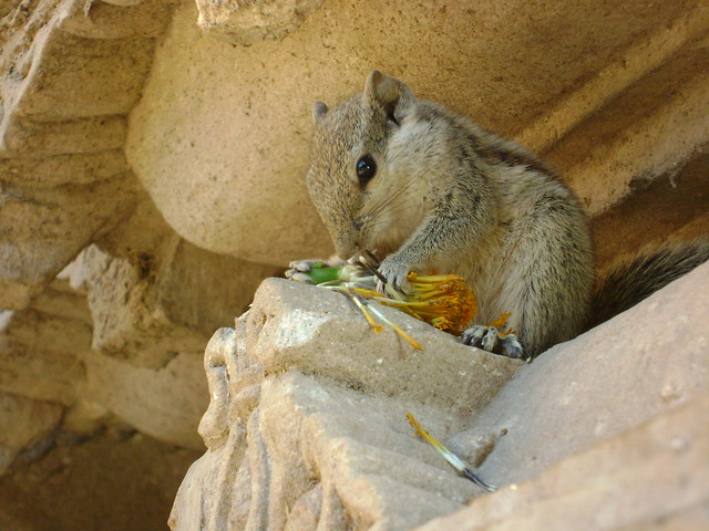 Hungry Squirrel, by Tanmay Vora, Taken at Vadnagar, Gujarat