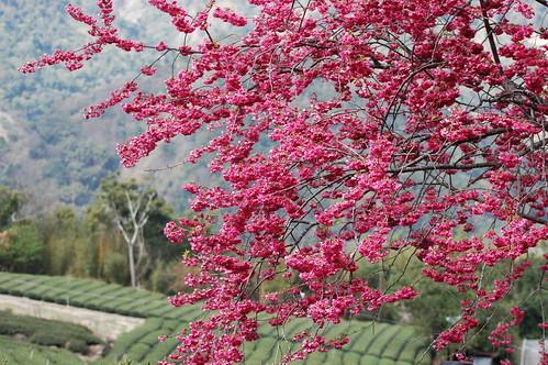 草坪頭櫻花
