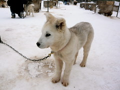 west siberian laika(0.0), czechoslovakian wolfdog(0.0), gray wolf(0.0), street dog(0.0), greenland dog(0.0), kishu(0.0), saarloos wolfdog(0.0), animal(1.0), dog(1.0), hokkaido(1.0), winter(1.0), snow(1.0), pet(1.0), mammal(1.0), east siberian laika(1.0), korean jindo dog(1.0), wolfdog(1.0),