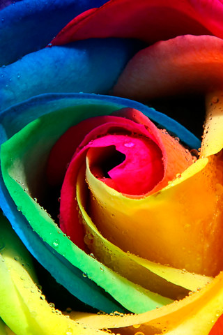Rainbow rose flickr photo sharing for Dual color roses
