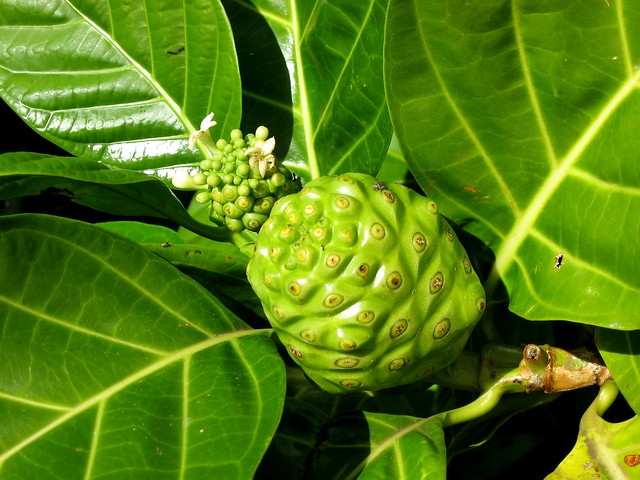 noni plant  fruit  and flower