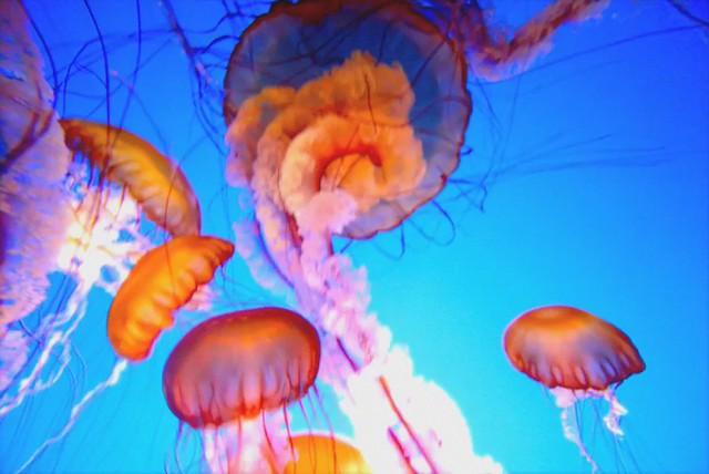 Monterey Bay Jellyfish