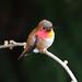 Rufous Hummingbird by John Riutta