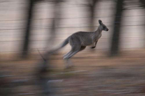 A Kangaroo caught in motion.
