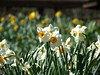 Sunny Springtime Daffodils by Harvey Schiller - chateauglenunga