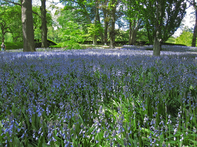 Bluebell Wood. Photo by Rebecca Bullene.