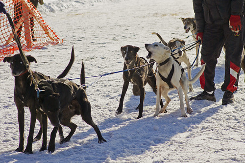 3217390980 c1ae0f5d38 Nice Sled Dog Racing photos