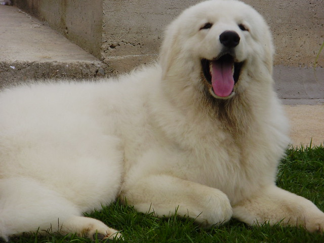Juninho*Kuvasz Prince of The Dogs*